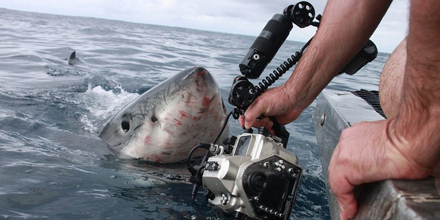So close he could taste him! STUNNING pictures have captured the moment a huge Great White shark came within inches of a photographer's hand as he tried to get the best shot. (Credit: Australscope/Media Drum World)