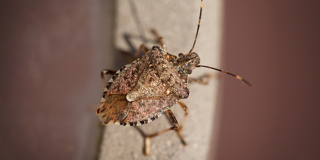 This year's polar vortex may have killed as much as 95 percent of stink bugs that did not find shelter.