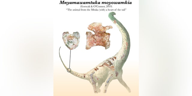 Illustration depicting the 'heart tail' from Mnyamawamtuka moyowamkia and a selection of the recovered bones from its skeleton. (Credit: Mark Witton)