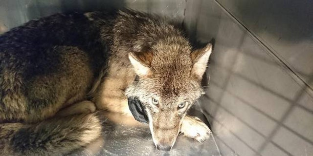 After making the discovery, the veterinarians decided to put the wolf in a cage, at the risk of the animal becoming more aggressive once its blood pressure picked back up