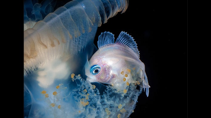 Stunning images show neon squid, sea butterflies and other creatures in deep reaches of Pacific Ocean