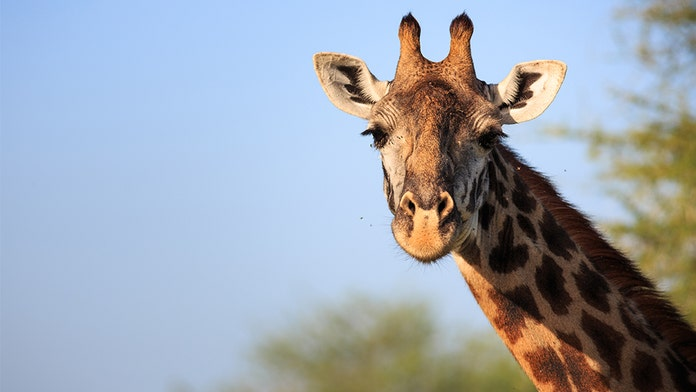 Dallas Zoo's 1-year-old giraffe named after Cowboys player dies during routine exam