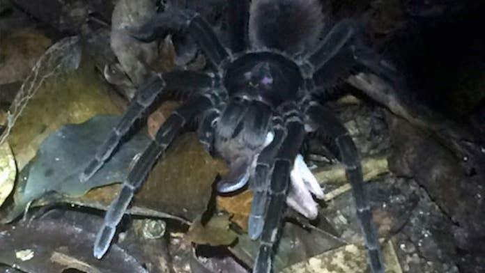 Huge spider drags opossum across Amazon rainforest floor in haunting footage