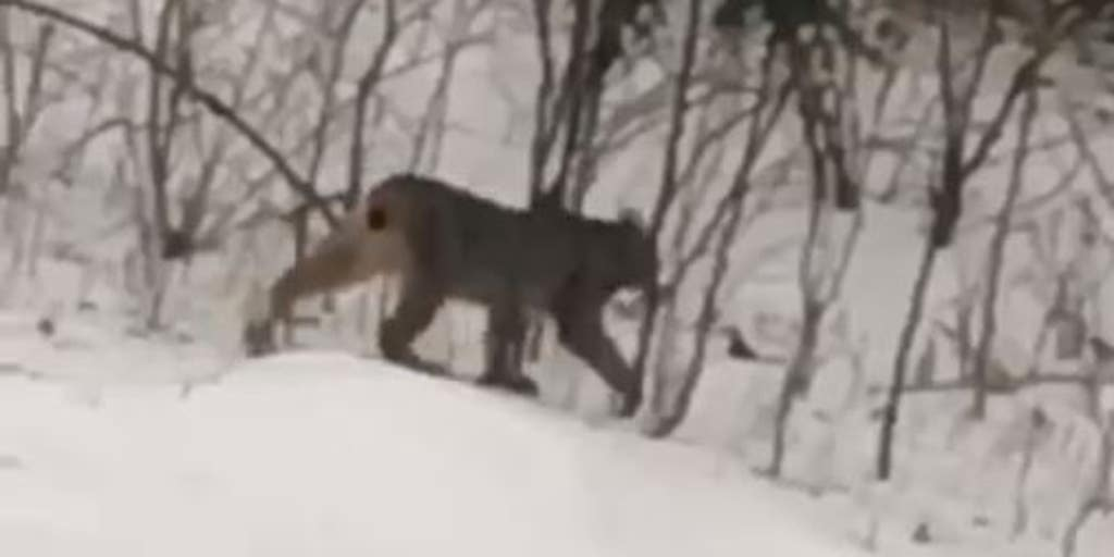 Escaping Tail End Of Winter By Roaming >> Rare Lynx Roaming Michigan Woods Puzzles Wildlife Experts Fox News