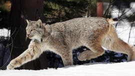 Michigan man traps rare lynx in backyard after catching it 'munching' on geese