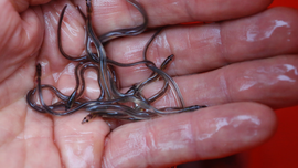 Baby eel fishermen hope for year free of poaching, shutdowns