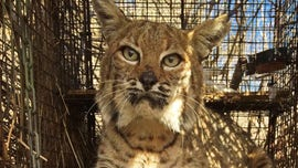 Bobcat that survived California wildfire struck, killed by driver, officials say