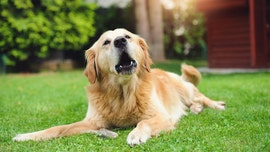 Coronavirus could be 'sniffed' out by dogs, experts say