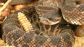 Video shows dozens of rattlesnakes lurking underneath Texas home