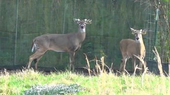 'Zombie deer' disease keeps spreading across country, hunters fear it could impact industry