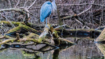 Central Park's 'hot' Mandarin duck faces competition from vibrant Great Blue Heron