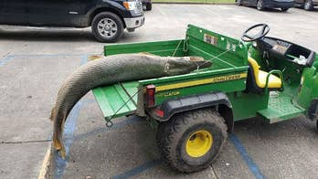Huge alligator gar pulled from Louisiana lagoon: 'It was a stomach-turning smell'