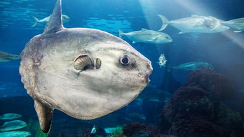 Massive sunfish found on California beach is one of the world's rarest, scientists say