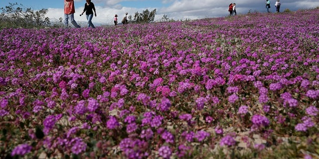 In this Wednesday, March 6, 2019, photo, people walk among wildflowers in bloom near Borrego Springs, Calif. (AP Photo/Gregory Bull)
