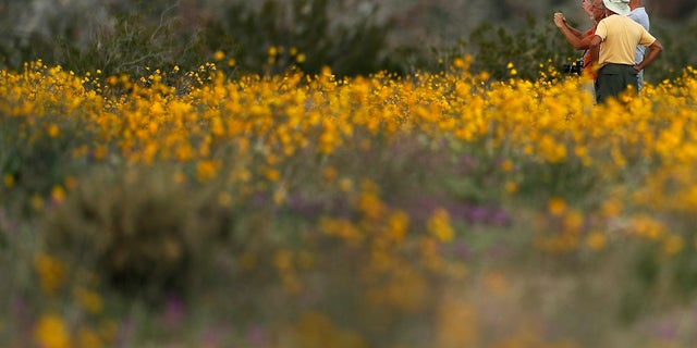In this Wednesday, March 6, 2019, photo, a group of men take pictures with their phones as they stand among wildflowers in bloom near Borrego Springs, Calif. (AP Photo/Gregory Bull)