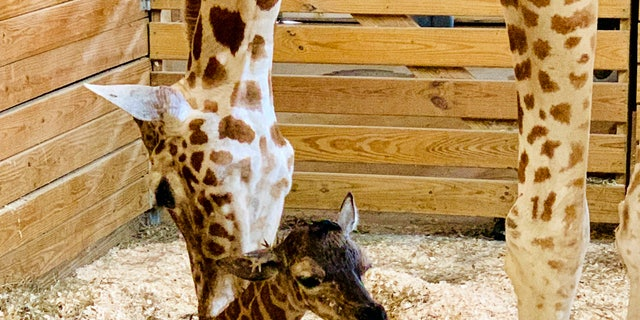 This photo provided by Animal Adventure Park shows April the Giraffe with her new male calf on Saturday in Harpursville, N.Y.