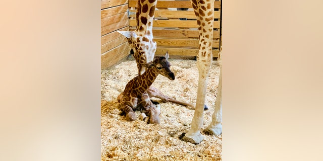 This photo provided by Animal Adventure Park shows April the giraffe with her new calf on Saturday in Harpursville, NY