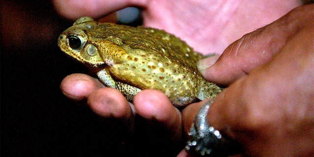 Thousands of poisonous baby toads known as bufo toads or cane toads, have overrun a Florida suburb, according to reports. (AP Photo/The Stuart News, Jason Nuttle)