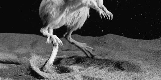 . File photo - kangaroo rat in the middle jump.