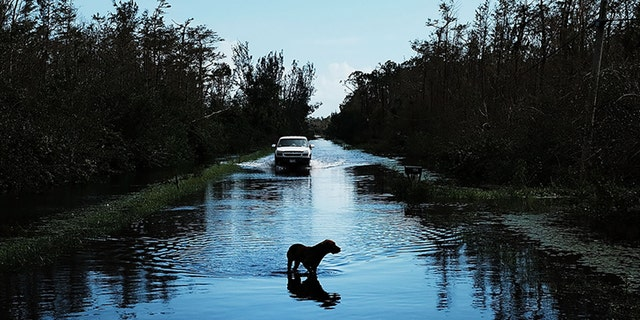 A dog walking through a flooded street in Naples, Fla., the day after Hurricane Irma swept through the area, in September 2017. (Spencer Platt/Getty Images, File)
