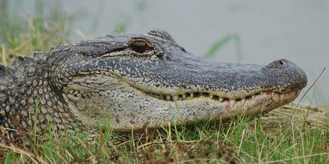 American Alligators make neural maps of sound the same way birds do. (Credit: Ruth Elsey Louisiana Department of Wildlife and Fisheries)