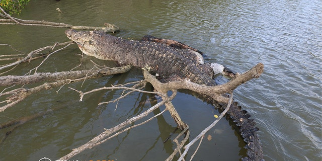 Authorities have appealed to the public for more information about the death of the crocodile amid the reports that the creature was shot in the head, with the Queensland Department of Environment and Science investigating the matter.