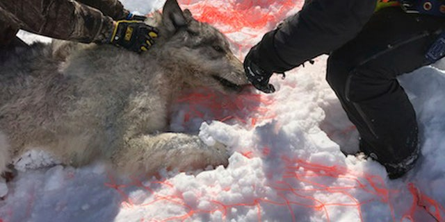 An Ontario wolf was captured with a net at Michipicoten Island in Ontario, Canada. (Mike Allan/Ontario Ministry of Natural Resources and Forestry via AP)