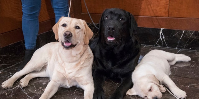 FILE- In this March 28, 2018 file photo, Labrador retrievers Soave, 2, left, and Hola, 10-months, pose for photographs as Harbor, 8-weeks, takes a nap during a news conference at the American Kennel Club headquarters in New York. The Labrador retriever is the American Kennel Club's most popular U.S. purebred dog of 2018. Labs topped the list for the 28th year in a row. (AP Photo/Mary Altaffer, File)
