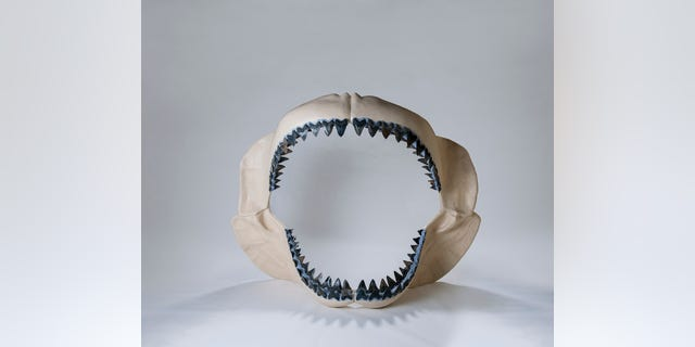 This is a reconstructed jaw of a megaldon. (Credit: Florida Museum, Kristen Grace)
