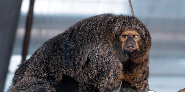 Santeri Oksanen, 34, snapped the muscular monkey as she kept a close eye on her territory. (Credit: SWNS)
