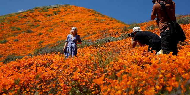 A model poses among wildflowers in bloom Monday, March 18, 2019, in Lake Elsinore, Calif.