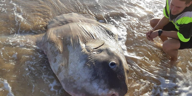 Not much is known about the new species of sunfish.