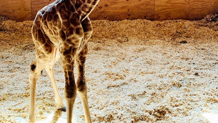 April the Giraffe welcomes new calf into the world, park officials say
