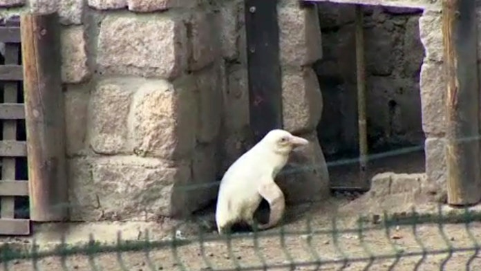 Albino penguin revealed at Polish zoo: report