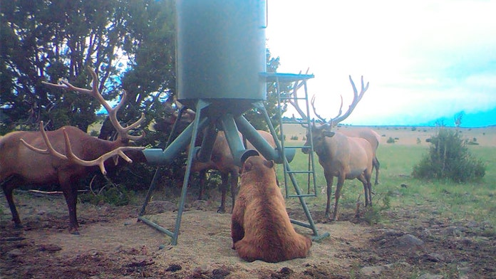 Remarkable photo of bear surrounded by elk at New Mexico ranch goes viral