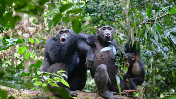 Chimpanzees bond over watching movies, new research suggests