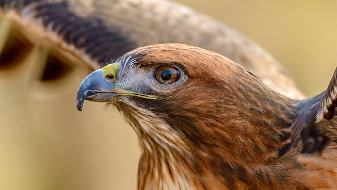 Huge snake strangles hawk in 'life-or-death battle' in Texas, stunning photos show