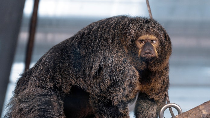 Muscular monkey captured in stunning photos: 'Looks like it's competing in a body building contest'