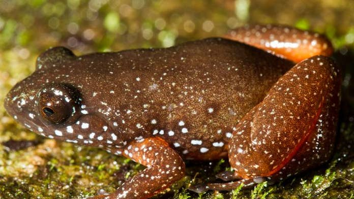 Newly discovered 'starry dwarf frog' wears a galaxy on its back, hides in dead leaves