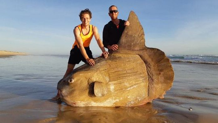 Massive, rare sunfish washes on shore of beach in South Australia