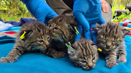Bobcat survives deadly wildfire, has 4 kittens in California