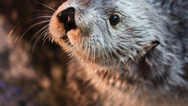 Oldest southern sea otter in captivity, Charlie, dies in California aquarium at 22