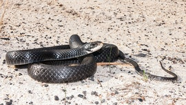 Florida woman rescues huge snake stuck in beer can: 'She was enjoying her Bud Light'