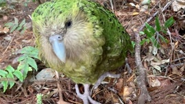 Rare Kakapo parrot produces strong breeding season, scientists say