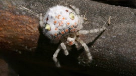 People freaking out creepy 'sushi' spider found in Sydney