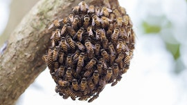 Beekeeper's warm-weather warning: 'Do not be frightened' of swarming honeybees