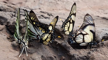 Butterflies drink tears straight out of turtles' eyes to survive in incredible footage