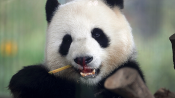 Calgary Zoo returning two giant pandas to China due to COVID-19-related bamboo shortage