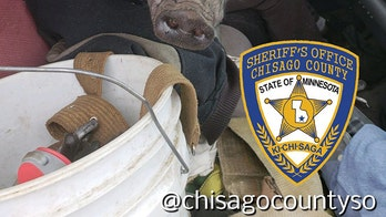 Minnesota deputy finds pig on driver's lap after report of swerving vehicle