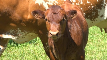 Florida cattle ranchers blame booming population, urban sprawl for dying industry